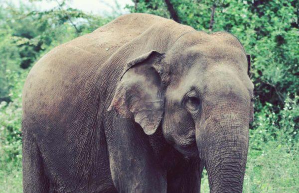 Elephant_with_soil_Sri-Lanka