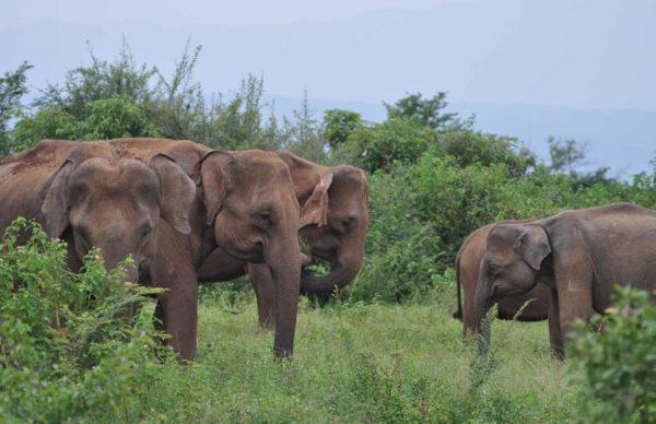 udawalawe_national_park_elephants