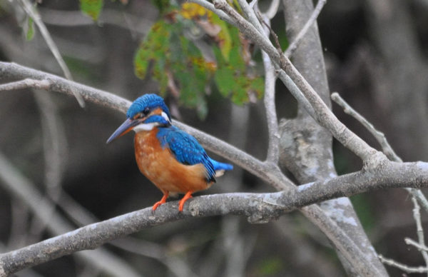Udawalawe-National-park-kingfisher_