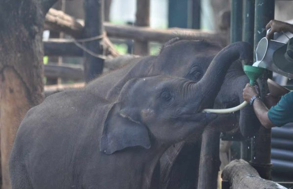 The Udawalawe Elephant Transfer Home is a facility within Udawalawe National Park in Sri Lanka