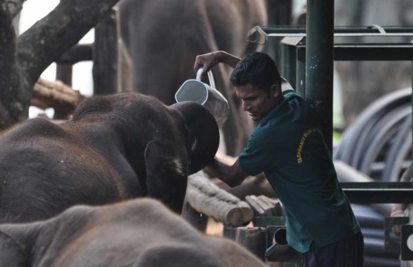 Elephant Orphanage Drinking milk