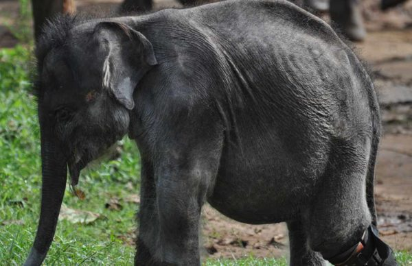 injured elephant cub at udawalawe