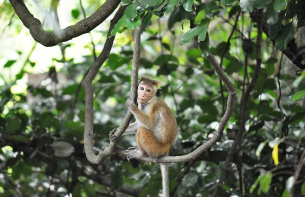 Play Slideshow‹ Previous PhotoNext Photo › Udawalawe wildlife sanctuary - Monkeys