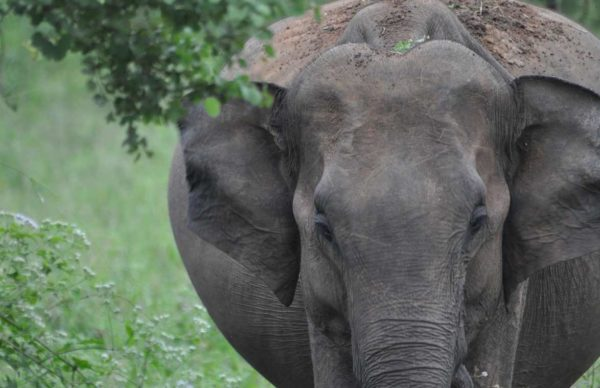 udawalawe pregnant elephant